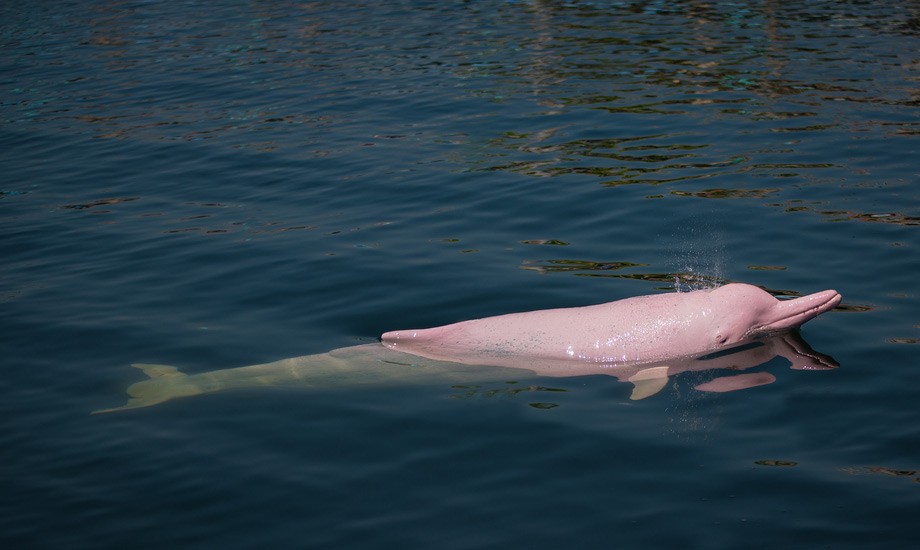 koh-lanta-pink-dolphin